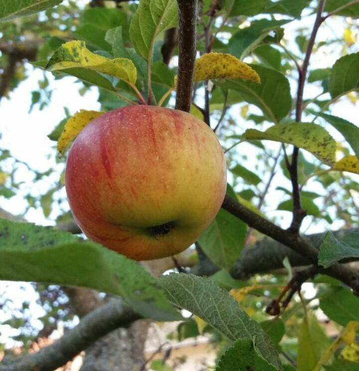 Veredelungsunterlagen für Äpfel konventionell und bio
